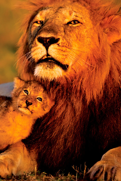 Póster Animais - Lion And Cub
